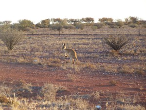 Ein flüchtendes Känguruh
