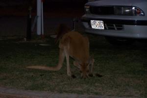 Ein lauerndes Känguruh