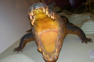 Sweetheart. Das Krokodil, so gerne Schiffeversenken spielte ist nach seinem tragischen Tod 1979 im Northern Trritory Museum ausgestellt.