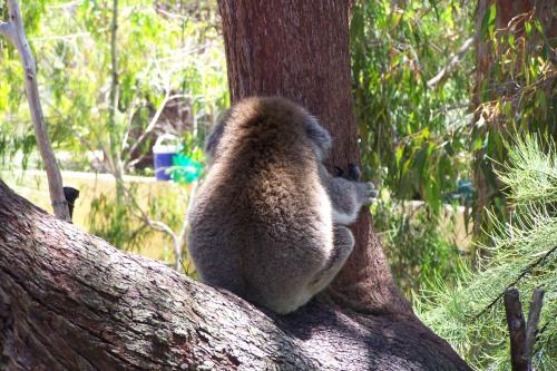 Ein unhöflicher Koala