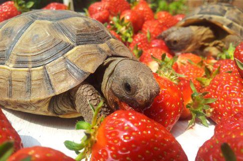 Zwei Landschildkröten umgeben von Erdbeeren